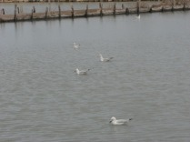 ציפורים בבריכות המלח שבעתלית לחוף הים התיכון